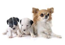 Terrier y chihuahua de Russel del enchufe de los perritos Fotografía de archivo