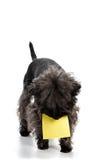 Terrier y etiqueta engomada de Yorkshire Imagen de archivo