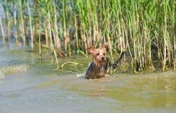 terrier yorkshire засады Стоковые Изображения RF