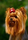 terrier yorkshire очарования Стоковые Изображения RF