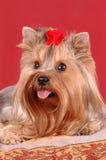 terrier yorkshire портрета крупного плана Стоковые Изображения