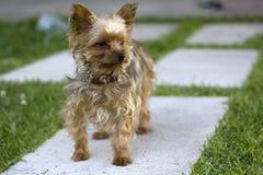 terrier yorkshire портрета Стоковые Фотографии RF