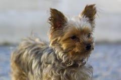 terrier yorkshire портрета Стоковые Изображения RF