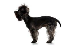 terrier yorkshire профиля стоковые изображения rf