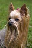 terrier yorkshire собаки женский Стоковые Фотографии RF
