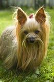 terrier yorkshire собаки женский Стоковая Фотография