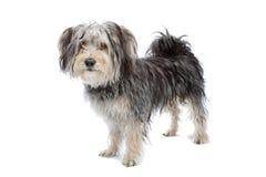 terrier yorkshire собаки breed мальтийсный смешанный стоковое фото