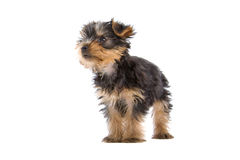 terrier yorkshire щенка стоковая фотография