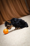 terrier yorkshire щенка Стоковое фото RF