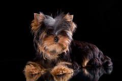 terrier yorkshire щенка Стоковое Изображение