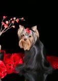terrier yorkshire щенка Стоковое Изображение RF