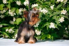 terrier yorkshire щенка Стоковые Фотографии RF