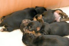 terrier yorkshire щенят Стоковая Фотография
