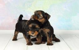 terrier 2 yorkshire щенят Стоковая Фотография