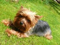 terrier yorkshire стоковое изображение