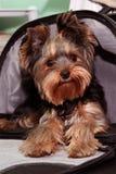 terrier yorkshire Arkivfoton