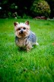 terrier yorkshire Стоковые Фото