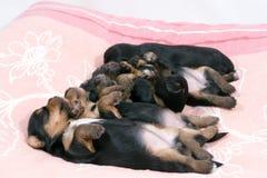 terrier yorkshire 14 дней Стоковая Фотография
