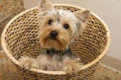 terrier yorkshire Стоковое Фото