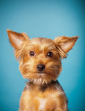 terrier yorkshire Royaltyfri Bild