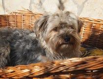 terrier yorkshire royaltyfri bild