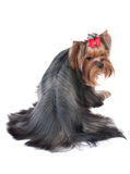 terrier yorkshire Royaltyfria Foton