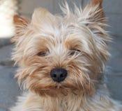 terrier yorkshire arkivbild