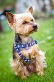 Terrier Yorkshire стоковая фотография rf