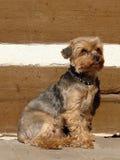 terrier yorkshire Royaltyfri Foto