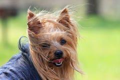 terrier Yorkshire Immagini Stock Libere da Diritti