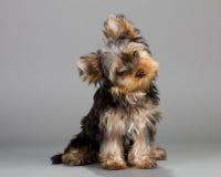 terrier yorkshire puppie Стоковые Изображения