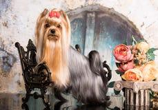 Terrier Yorkshire siden- ull arkivfoto