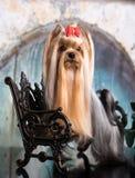 Terrier Yorkshire silk wool. Yorkie dog, Yorkshire Terrier silk wool stock photos