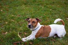 Terrierhund Jacks Russell, der im Park liegt Lizenzfreie Stockbilder