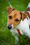 Terrierhundeportrait Jack-Russell Stockbild