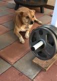 terriers Imágenes de archivo libres de regalías