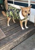 terriers Royaltyfri Fotografi