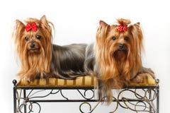 terriers 2 yorkshire Стоковые Изображения RF