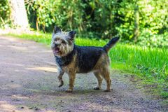 Terriers Day Out royalty free stock photos