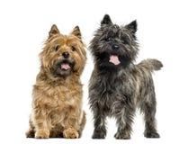 Terriers de cairn photos libres de droits