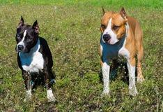 Terriers de Staffordshire américain noir et brun Photo stock