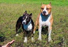 Terriers de Staffordshire américain sous le comand Image libre de droits