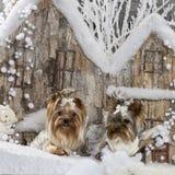 Terriers de Yorkshire Photos stock