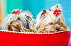Terriers de Yorkshire Image stock
