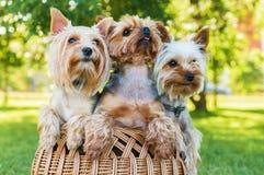 Terriers de Yorkshire se reposant dans le panier dehors Images stock