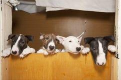 terriers di toro fotografie stock
