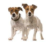 terriers 2 russell jack Стоковое Фото