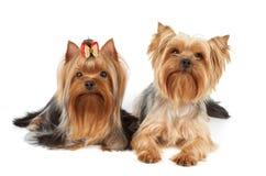 terriers två yorkshire Arkivfoto