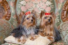 Terriers van Yorkshire Royalty-vrije Stock Afbeeldingen