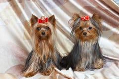Terriers van Yorkshire Stock Foto